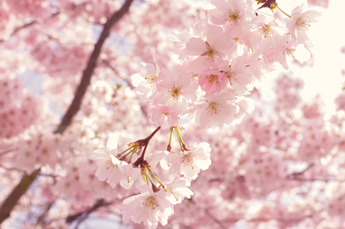 500-selective-focus-photography-of-pink-cherry-blossom-flowers-2099737.jpg